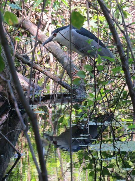 Black-crowned Night Heron - PleinAirTO2014