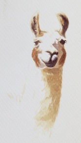Llama study by Barry Coombs