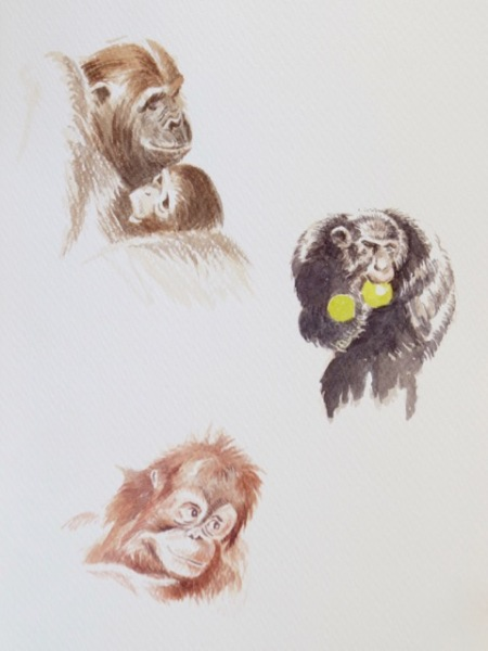 Ape studies by Barry Coombs